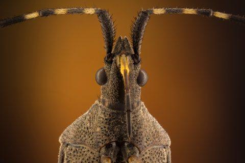 Fotografía macro extremo de chinche marrón y amarillo