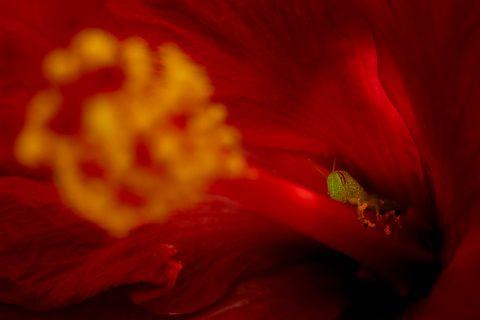 Fotografía macro de saltamontes verde en flor de hibiscus