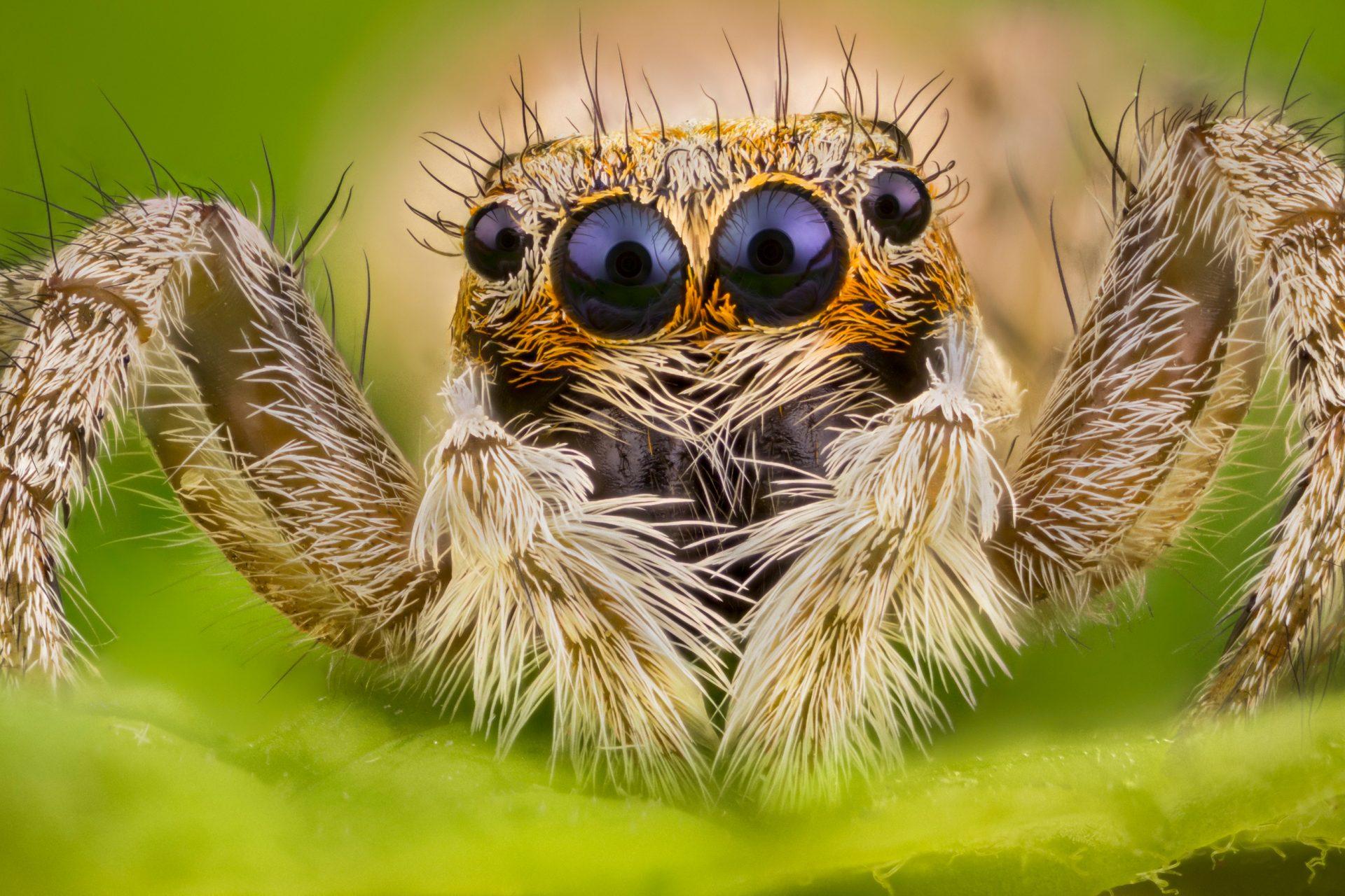 Fotografía macro extremo de araña saltarina Menemerus semilimbatus