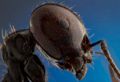 Fotografía macro extremo de hormiga messor barbarus