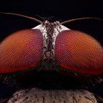 Fotografía macro extremo de los ojos rojos de una mosca con Lomo 8X