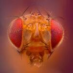 Fotografía macro extremo de una mosca de la fruta con Nikon E Plan 10X LWD