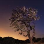 Fotografía nocturna del ciruelo del Arenal de Petrer lleno de flores